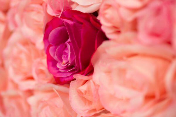 Nahaufnahme Rosen von Blumenwand Pink Ombré